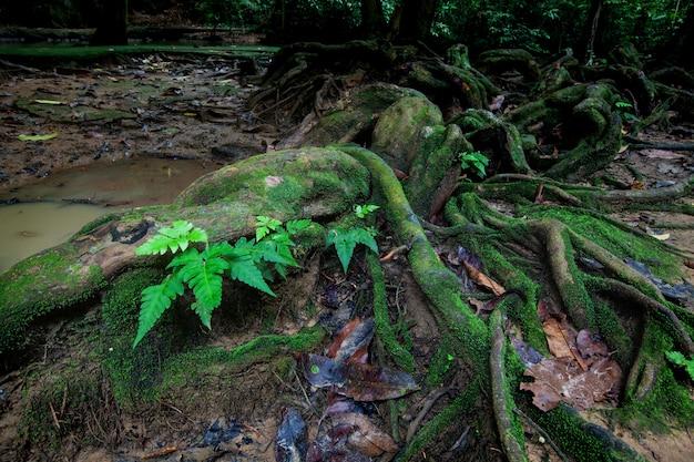 Radici di grande albero in foresta pluviale con muschio e ruscello. Foto Premium