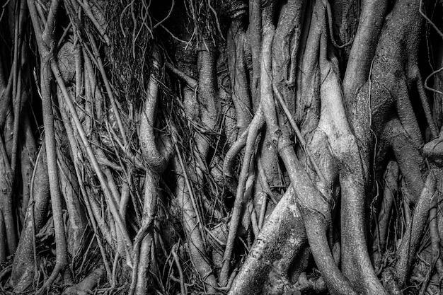 Le radici e gli steli dell'albero di banyan sono densamente imballati, sembrano ingombra come la superficie del legno, fotografando in bianco e nero. Foto Premium