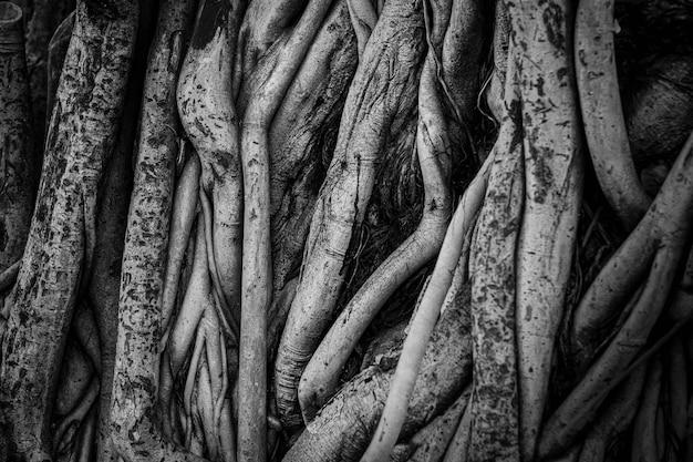 Le radici e gli steli dell'albero di banyan sono densamente imballati, sembrano ingombra come la superficie del legno, fotografia in bianco e nero. Foto Premium