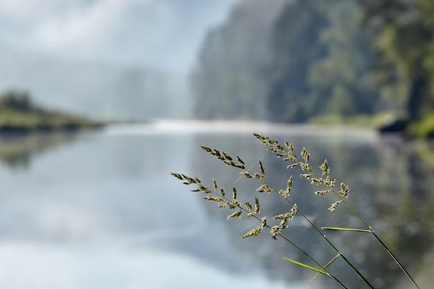 Bluegrass ruvido o poa trivialis prato erbe pianta erbacea su sfondo sfocato del paesaggio naturale con il fiume. Foto Premium
