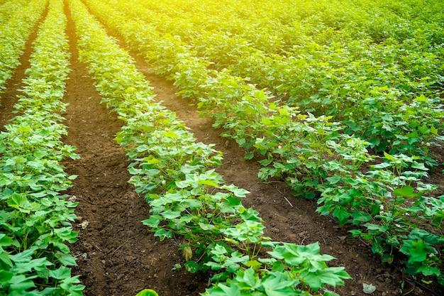 Fila di campo di cotone verde in crescita in india. Foto Premium