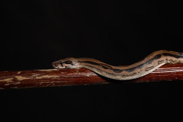 Royal python, o ball python python regius Foto Premium