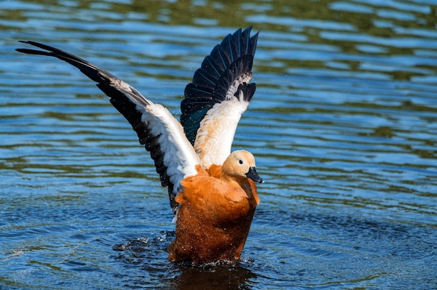 Ruddy shelducks o tadorna ferruginea nuotare in un lago Foto Premium