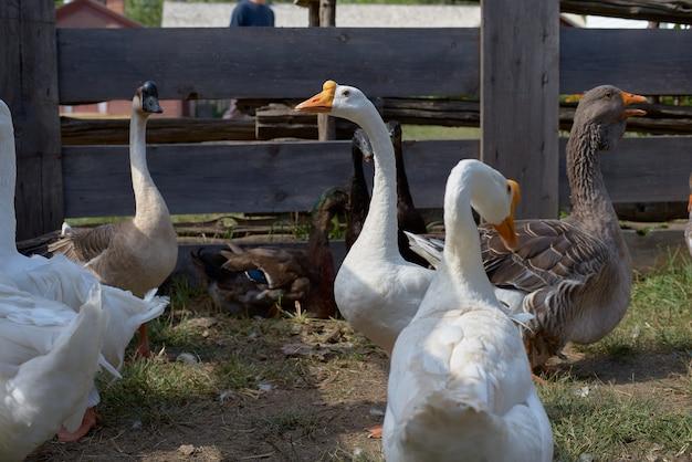 Scena rurale con oche e anatre. oche fatte in casa siedono in fattoria. concetto di ecofarm, agricoltura Foto Premium