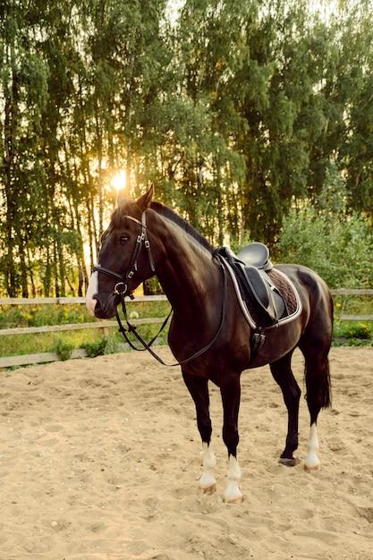 Cavallo sellato si leva in piedi sulla sabbia nel paddock al tramonto Foto Premium