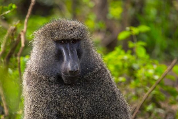 Safari in macchina nel parco nazionale di nakuru in kenya, africa. una bella scimmia che guarda l'obbiettivo nel parco Foto Premium
