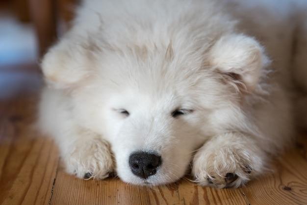 Cucciolo di samoiedo sdraiato sul pavimento e dormire Foto Premium