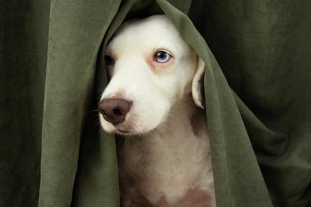 Cucciolo di cane spaventato o impaurito per fuochi d'artificio, temporali o rumori forti si nasconde sotto una tenda. Foto Premium