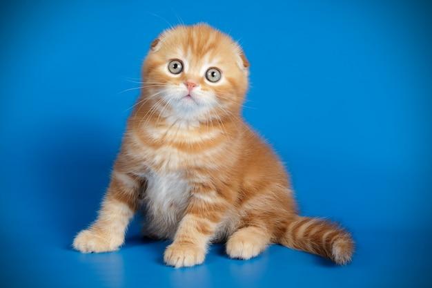 Gatto scottish fold a pelo corto Foto Premium