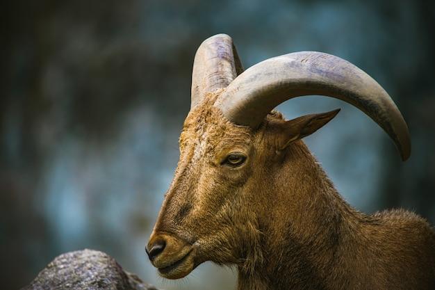 Fuoco selettivo grandi pecore del corno Foto Premium