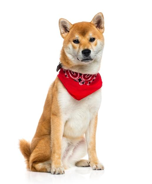 Shiba inu indossa una sciarpa rossa Foto Premium