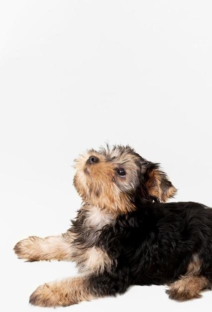 Vista laterale dell'adorabile yorkshire terrier con copia spazio Foto Premium