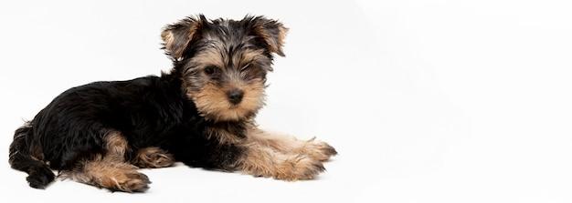 Vista laterale del simpatico cucciolo di yorkshire terrier Foto Premium