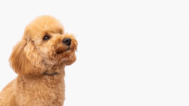 Cane domestico di vista laterale con copia-spazio Foto Premium