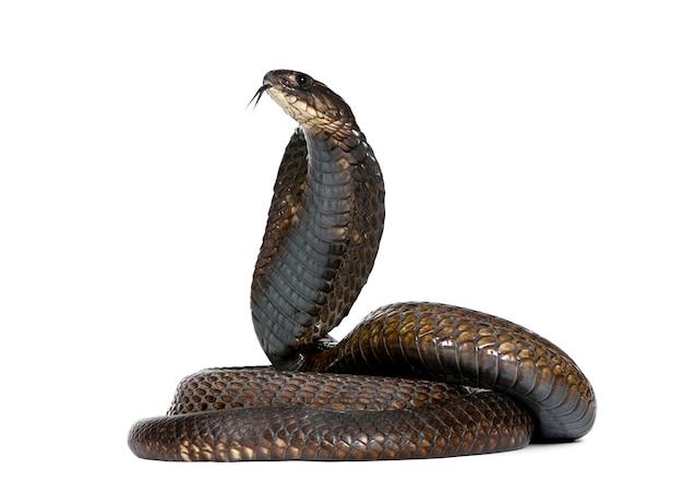 Vista laterale del cobra egiziano, naja haje isolato Foto Premium