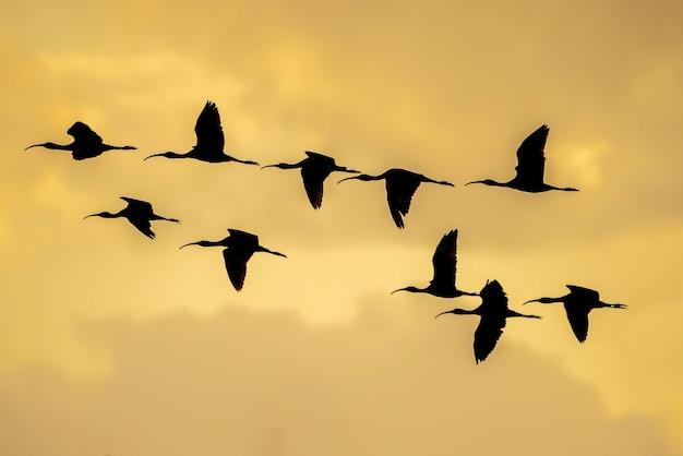 Silhouette di un gruppo di lucida ibis (plegadis falcinellus) al ricefields al tramonto in albufera de valencia, valencia, spagna. Foto Premium