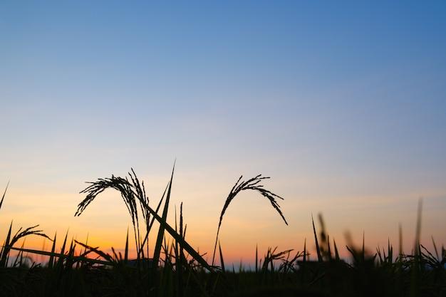 Profili il tempo del sorgere del tramonto o del sole del riso con lo spazio della copia Foto Premium