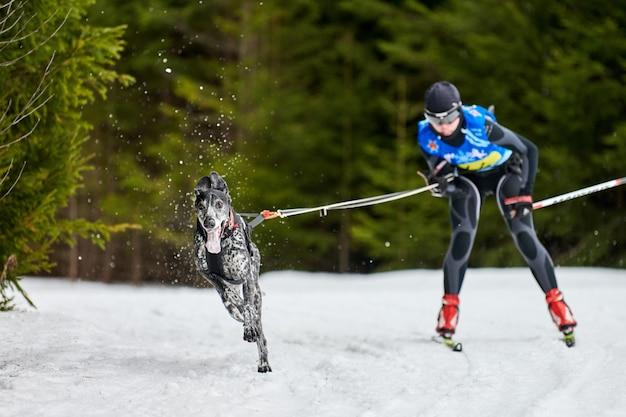 Skijoring cani da corsa. gara sportiva invernale per cani. il cane puntatore tira lo sciatore. sci attivo su strada Foto Premium