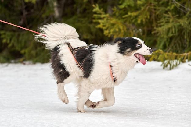 Skijoring cani da corsa. gara sportiva invernale per cani. il cane del husky siberiano tira lo sciatore. sci attivo su strada innevata Foto Premium