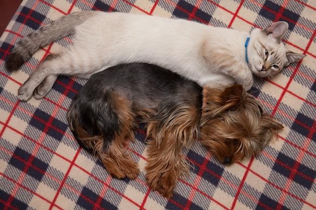 Un piccolo cane e un gattino dormono amichevolmente a casa Foto Premium