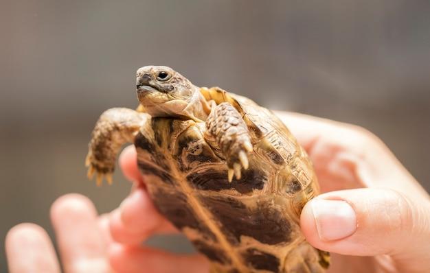 Piccola, tartaruga di terra o tartaruga di montagna nelle mani di un uomo con una copia di spazio per il tuo testo Foto Premium