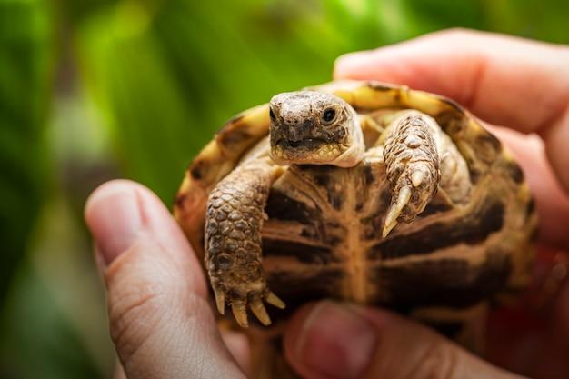Piccola tartaruga di terra o tartaruga di montagna nelle mani di un uomo Foto Premium