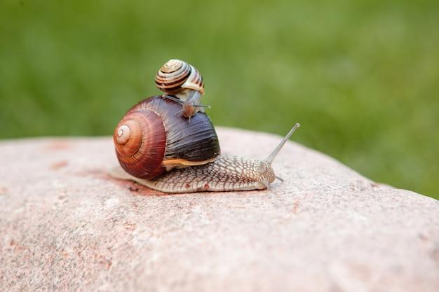 Una piccola lumaca si siede su una grande lumaca che striscia su una roccia Foto Premium