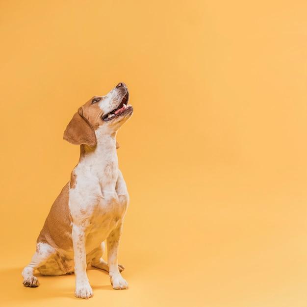 Cane sorridente che osserva in su con lo spazio della copia Foto Premium