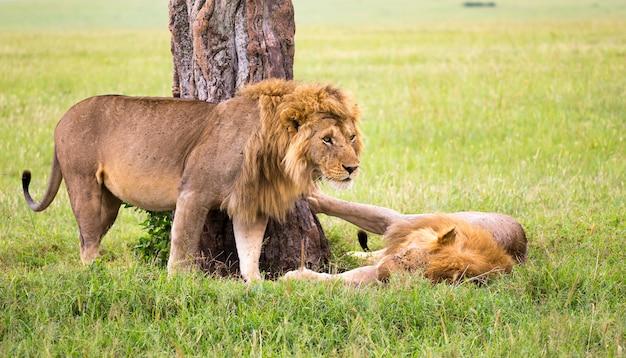 Alcuni grandi leoni mostrano le loro emozioni l'un l'altro nella savana del kenya Foto Premium