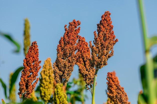 Il sorgo bicolore è un genere di piante da fiore della famiglia delle graminacee poaceae. Foto Premium