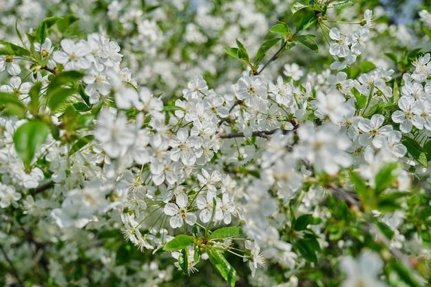 Immagine spaziale, ciliegio a fioritura primaverile, primo piano di un ramo con fiori bianchi Foto Premium