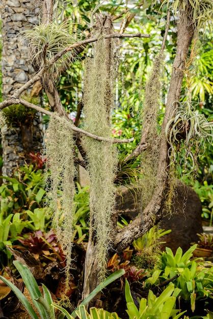 Muschio spagnolo o tillandsia usneoides adatto per piante senza terra e appendere su legname Foto Premium