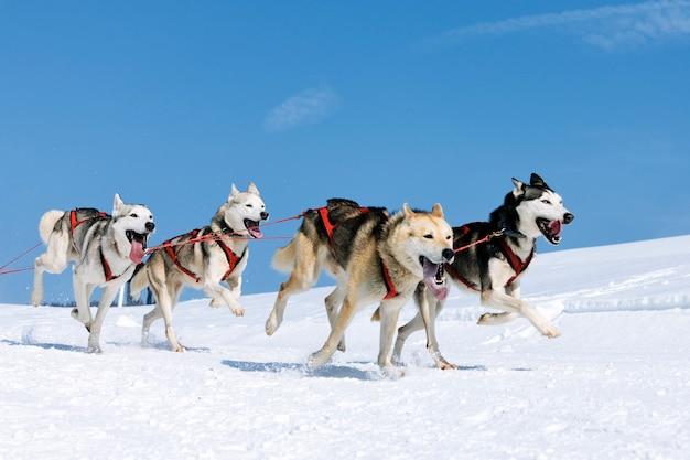 Cani sportivi nella neve, estremi, in montagna Foto Premium