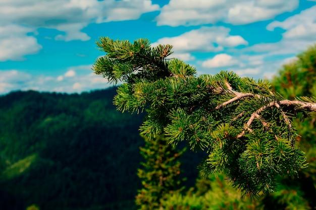 Rami di abete rosso sullo sfondo delle montagne in estate Foto Premium