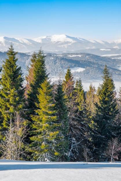 Foresta invernale di abete rosso con vista sulle montagne Foto Premium