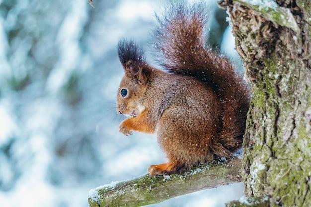 Scoiattolo nella foresta invernale. uno scoiattolo si siede su un ramo di un albero e mangia in una soleggiata giornata invernale. Foto Premium