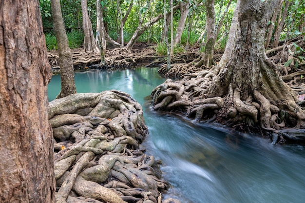 Flusso di acqua e bella radice di alberi a thapom klong song nam a krabi, in thailandia Foto Premium