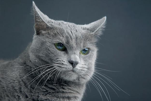 Ritratto in studio di un bellissimo gatto grigio su oscurità Foto Premium