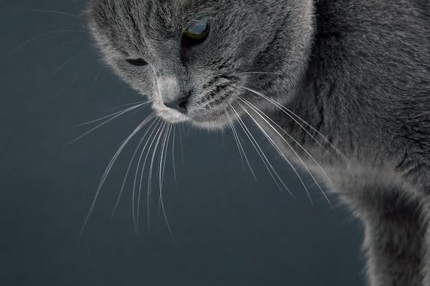 Ritratto in studio di un bellissimo gatto grigio Foto Premium