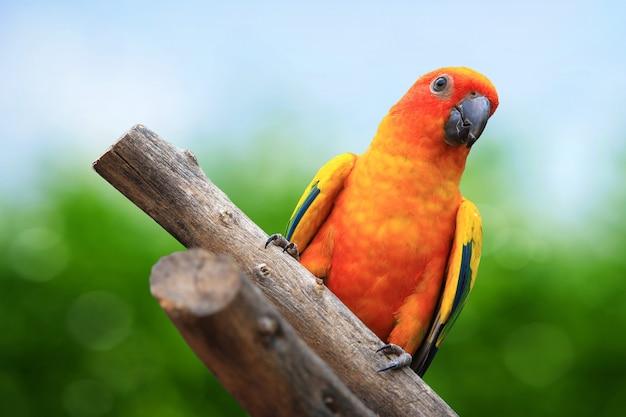 Sun conure (sun parakeet) su sfondo verde Foto Premium