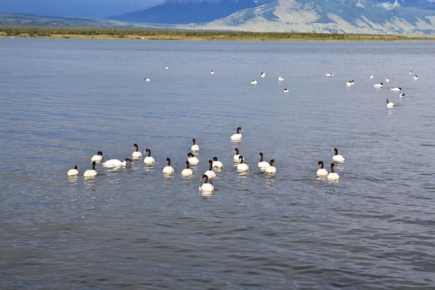 Swan a puerto natales del cile Foto Premium