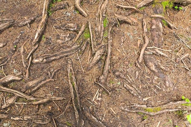 Consistenza delle radici degli alberi nella foresta Foto Premium