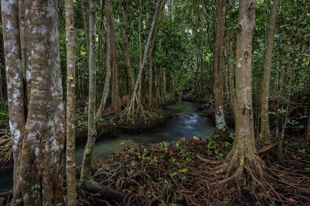 Tha pom mangrove forest, tha pom khlong song nam emerald pool è una piscina invisibile nella foresta di mangrovie a krabi, krabi, tailandia Foto Premium