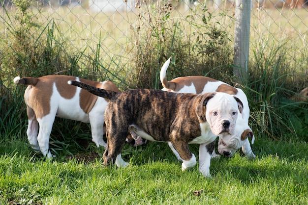Tre cani cuccioli di bulldog americano stanno giocando in movimento sulla natura sull'erba verde. Foto Premium