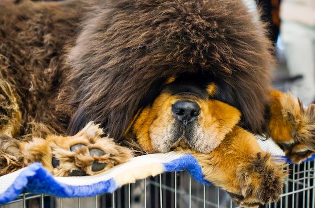 Cane mastino tibetano Foto Premium