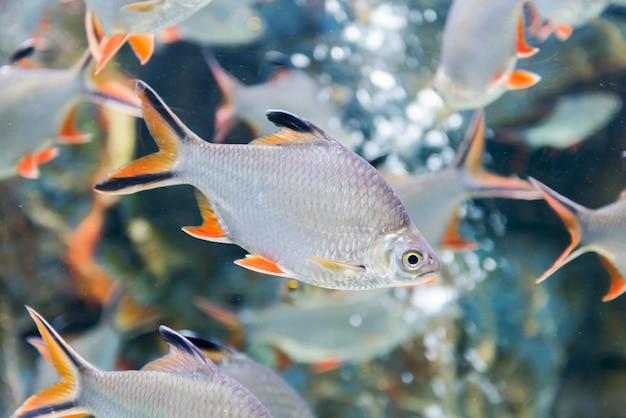 Pesci della sbavatura della stagnola, pesce d'acqua dolce in tailandia Foto Premium