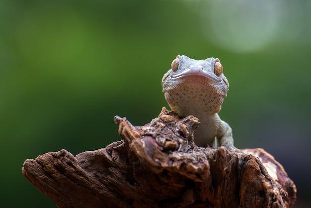 Geco tokay sul ramo di un albero dopo la muta Foto Premium