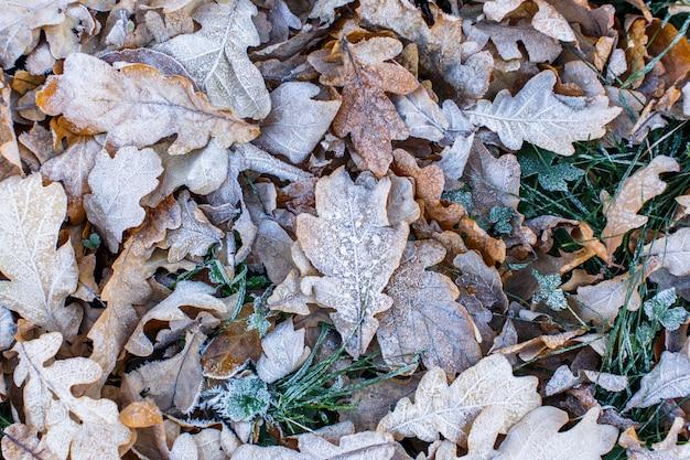 Vista superiore delle foglie congelate asciutte congelate della quercia gialla - sfondo naturale. mattina d'inverno. Foto Premium