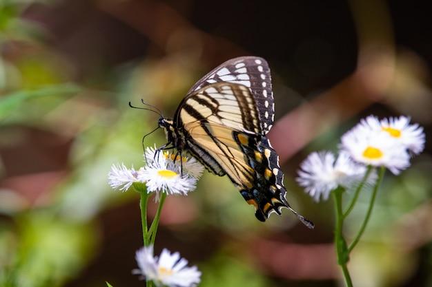 Farfalla alata trasparente su un fiore giallo in un giardino delle farfalle a mindo, ecuador Foto Premium