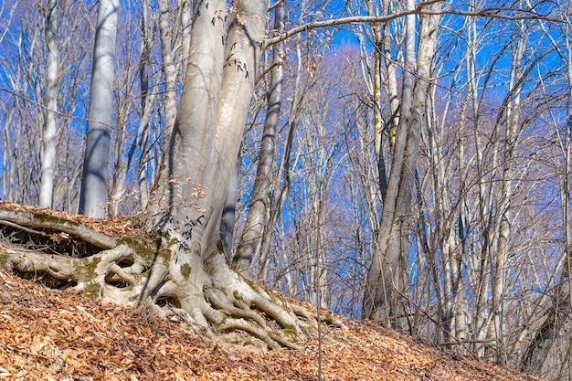 Albero con grandi radici sopra il terreno Foto Premium